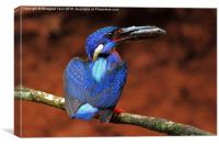 Blue-eared kingfisher m, Canvas Print