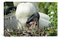 Black-headed Ibis with chicks, Canvas Print