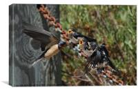 Barn Swallow feeding it's chicks, Canvas Print
