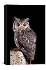 Southern White Faced Owl, Canvas Print