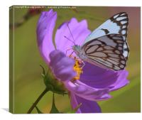 gorgeous white butterfly, Canvas Print