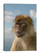 Barbary ape in thought , Canvas Print