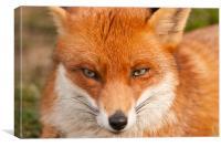 Fox, Canvas Print