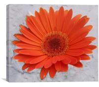 Orange Gerbera , Canvas Print