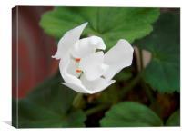 White Geranium, Canvas Print