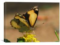 Nectar , Canvas Print