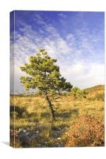 Lonely pine, Canvas Print