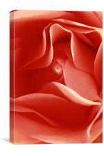 red rose , Canvas Print