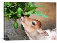 Hungry calf consuming mango, Canvas Print