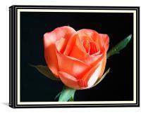 Rose (Flower), Canvas Print