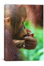 Baby Orangutan, Canvas Print