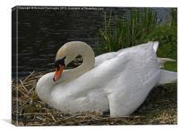 Nesting Swan, Canvas Print