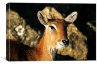 Antelope, Canvas Print