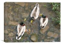Duck Duck Duck, Canvas Print