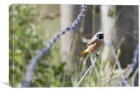 Common Redstart, Canvas Print