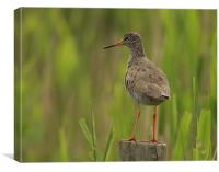 3058_32391 Redshank, Canvas Print