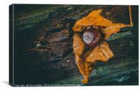 Autumn Conker, Canvas Print