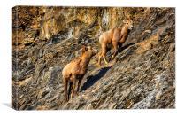 Mountain Goats, Canvas Print