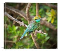 The Little Green Bee-Eater , Canvas Print