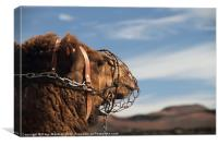 Its A Camels Life, Canvas Print