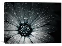 Raindrops On An African Daisy