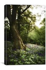 Bluebell Dell, Canvas Print