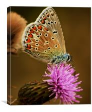 Silver Studded Blue, Canvas Print