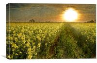 Going Home, Rapeseed field at Sunset, Canvas Print