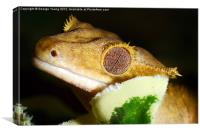 A sleeping Gecko, Canvas Print