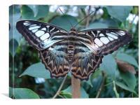 Blue Clipper Butterfly, Parthenos sylvia, Canvas Print