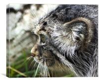Pallas's Cat, Canvas Print