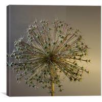 Allium Seed, Canvas Print