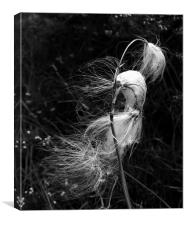 Common Cotton Grass, Canvas Print