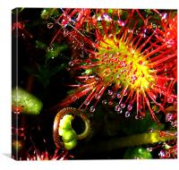 Sundew with Bud