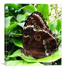 Butterfly Study2, Canvas Print