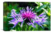 Mountain Knapweed, Canvas Print