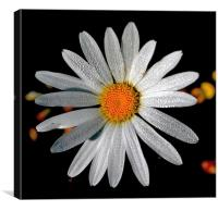 Corn Chamomile with Dewdrops, Canvas Print