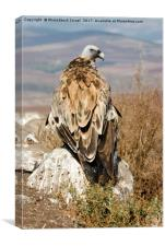 griffon vulture, Canvas Print