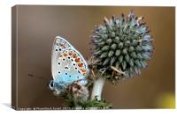 butterfly on a Echinops adenocaulon, Canvas Print