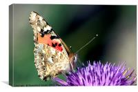 butterfly on a Silybum marianum, Canvas Print