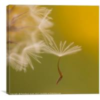 The seed head of a Crepis palaestina, Canvas Print