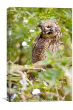 Long-eared Owl (Asio otus) , Canvas Print