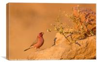 male Sinai Rosefinch (Carpodacus synoicus) , Canvas Print