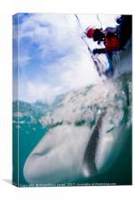 tagging a sandbar shark (Carcharhinus plumbeus) , Canvas Print