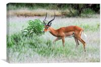 male  impala (Aepyceros melampus)., Canvas Print