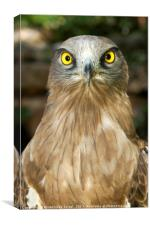 Short-toed Eagle, Circaetus gallicus, Canvas Print