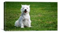 West Highland White Terriers, Canvas Print