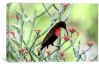 sunbird, Lake Manyara National Park, Canvas Print