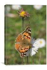 Painted Lady Vanessa cardui, Canvas Print