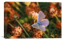 Common Blue (Polyommatus icarus), Canvas Print